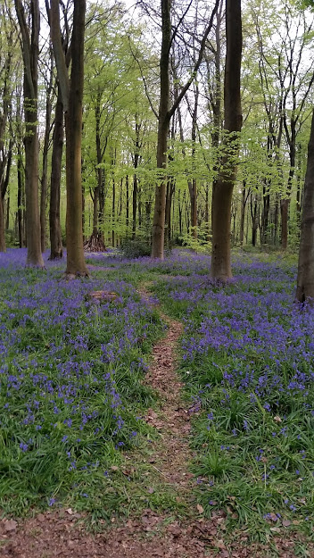 Bluebells carpet a beech wood