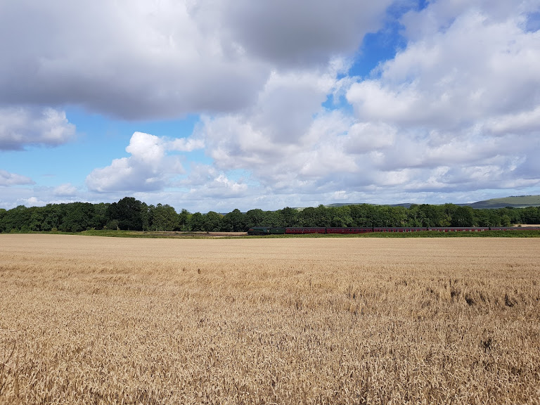 Golden field ready for harvest in August