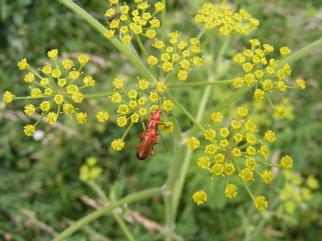 A Soldier Beetle (Rhagonycha fulva) 11.7.10.Lady's Walk