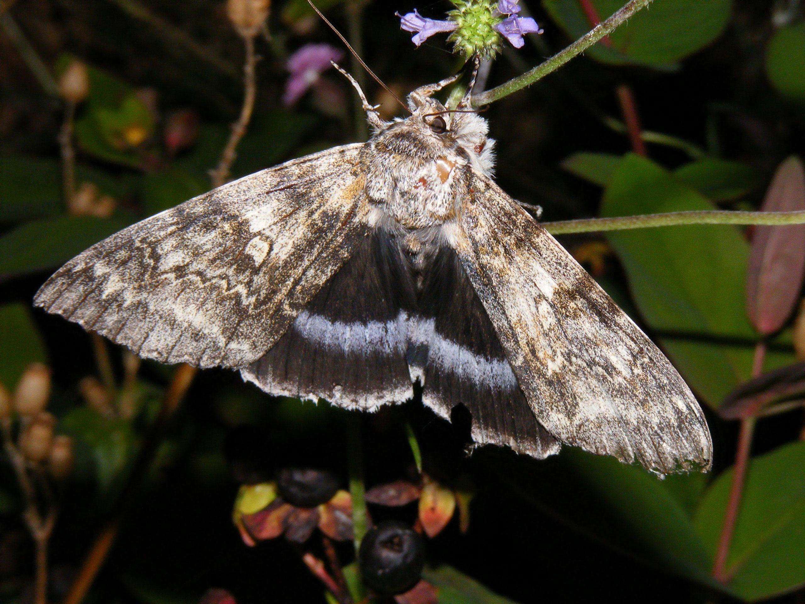 Clifden Nonpareil Moth (Catocala fraxini) 9.10.15.ASDA Andover.Natural