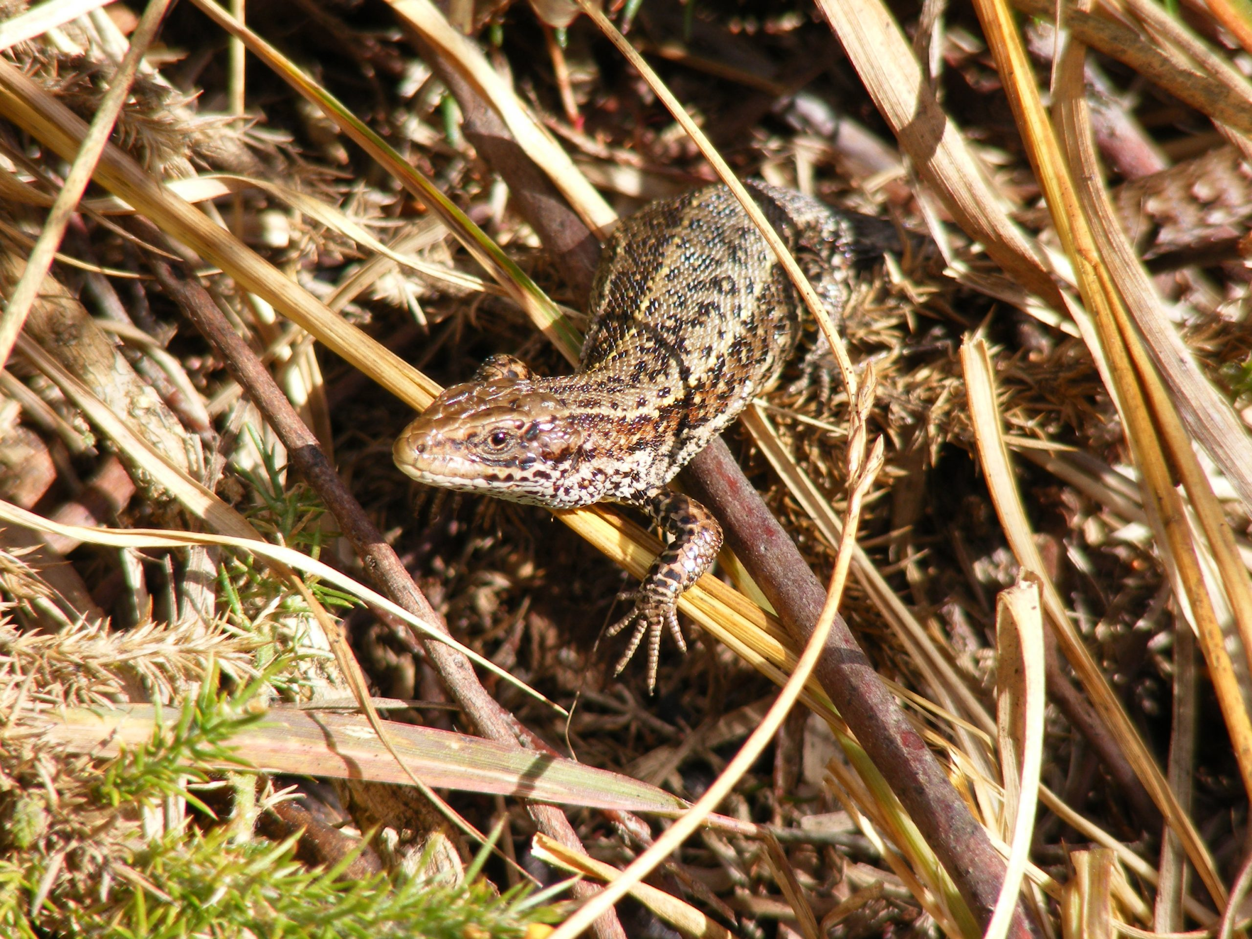 Common or Viviparous Lizard - Lacerta vivipara or Zootoca vivipara 19.9.12.Chobham Common