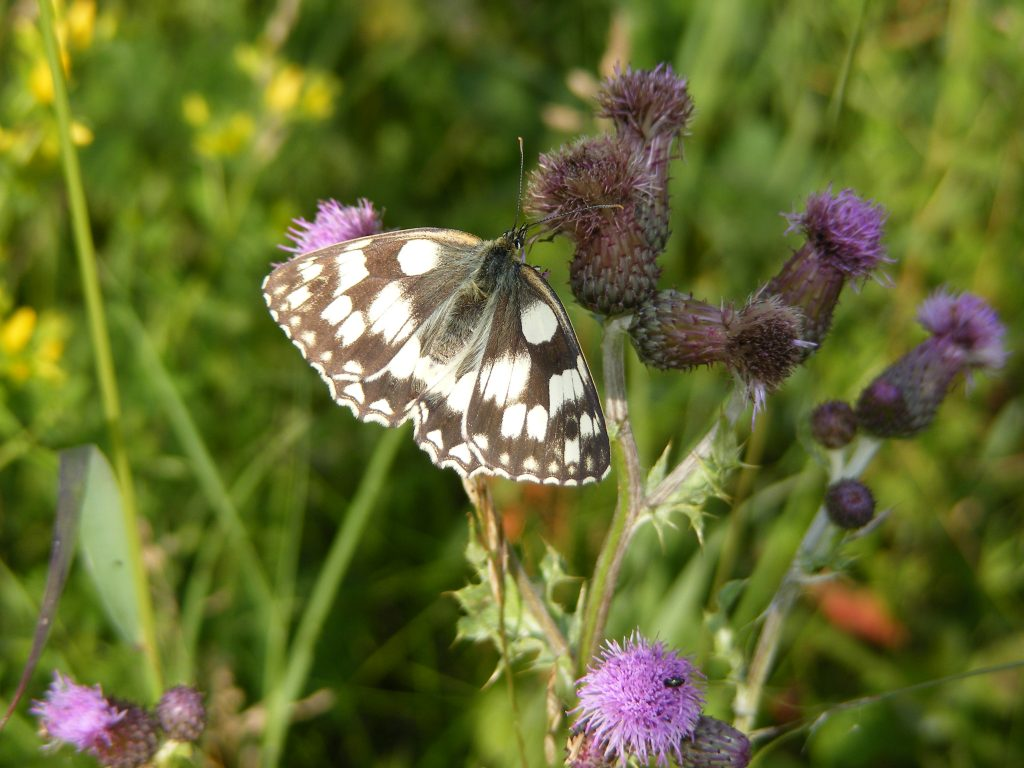 Marbled White Butterfly (Melanargia galathea) 25.6.14.Churchill Way Road Verge