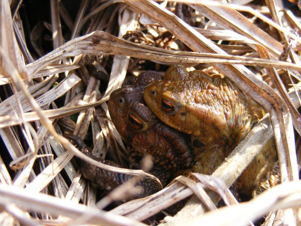 Common Toad (Bufo bufo) 11.3.12.Rooksbury Mill.2