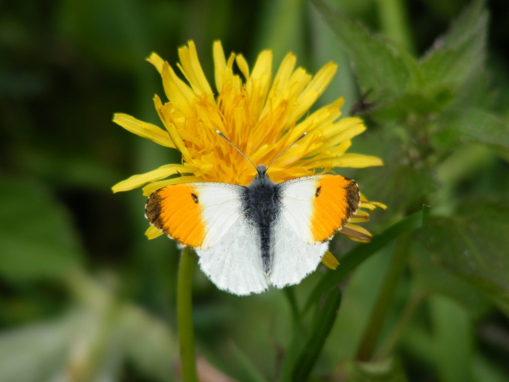 Orange Tip (Anthocharis cardamines) 12.5.13.Wickes Meadow