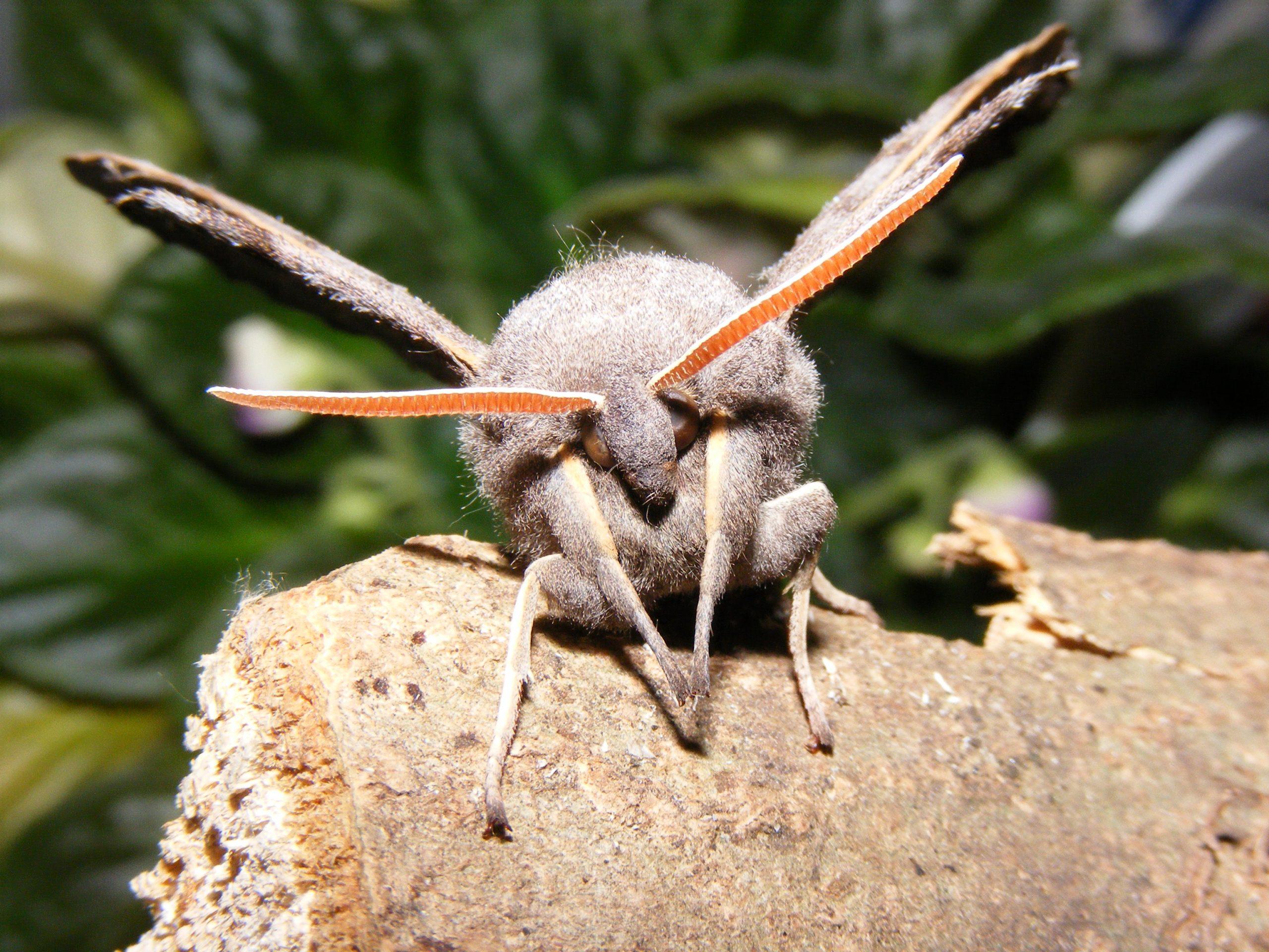 Poplar Hawk-moth (Laothoe populi) 29.4.14.Rooksbury Mill A303 Underpass