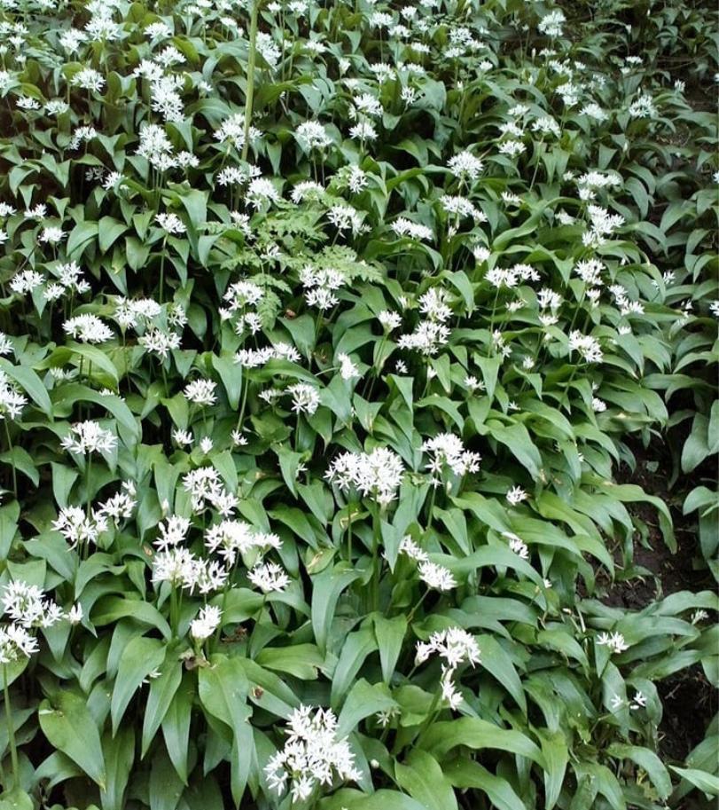 Wild Garlic -Allium ursinum -growing in a woodland