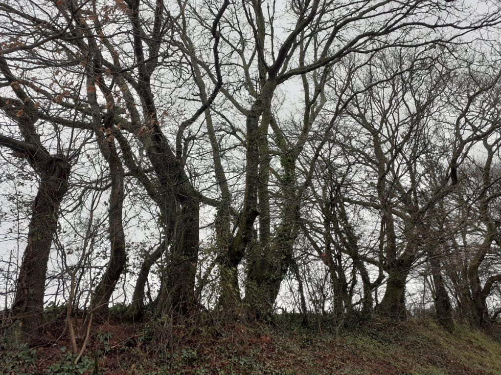 An uncut hedge may become a treeline